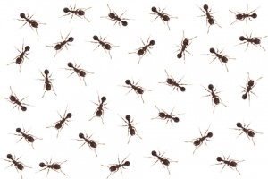 committees_ants